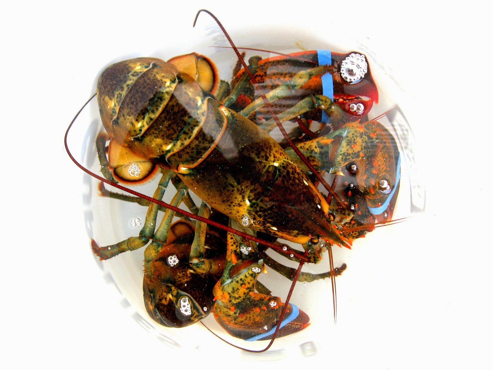 Buying Maine Lobster Online Maine Ly Lobster