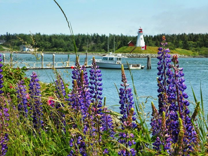 Lubec Harbor lupines lighthouse