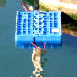 a crate of live lobsters